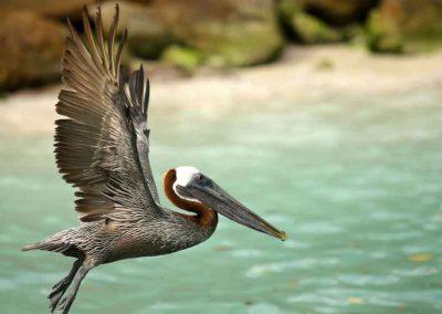 Pelican at Pelican Island