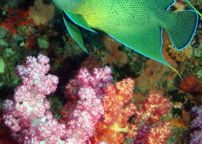 Angel Fish at Coral Reef in Seychelles